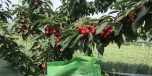 cherry trees china